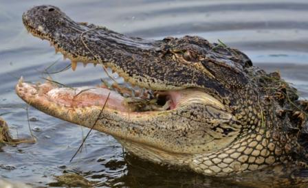 Aligátor americano » COCODRILOPEDIA