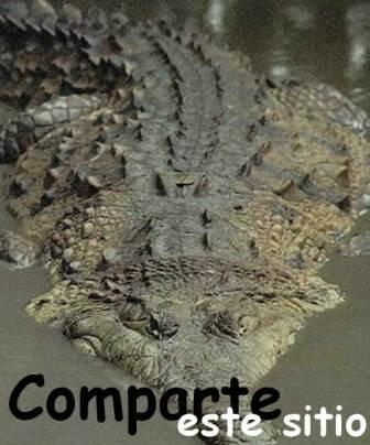 Cocodrilo marino » COCODRILOPEDIA