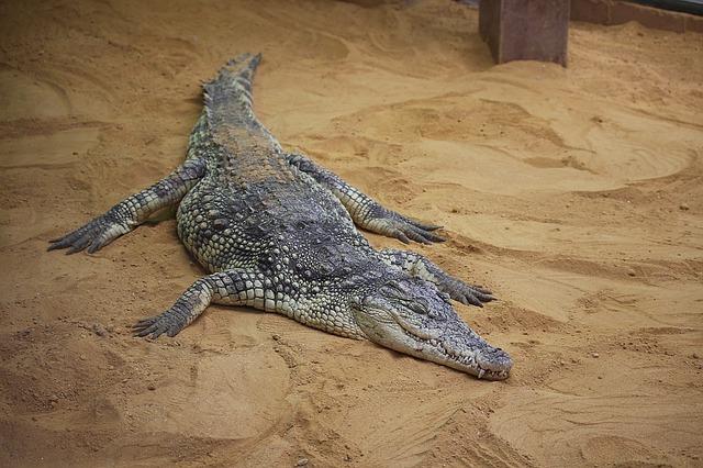 Anatomía del cocodrilo » COCODRILOPEDIA