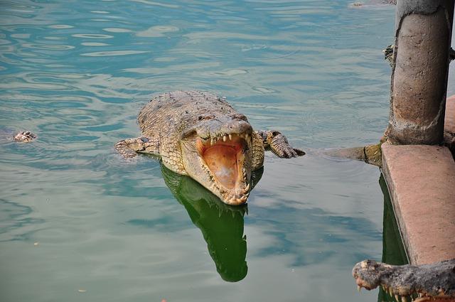 Ataques de cocodrilos » COCODRILOPEDIA